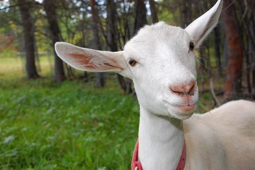 Cody's goat