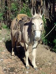 burrinho (Glayson Ramos) Tags: animal de burro asno jumento carga jeque burrinho