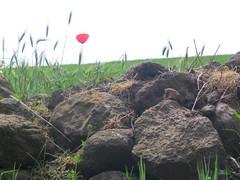 papavero (kira) Tags: nature natura papavero naturalmente
