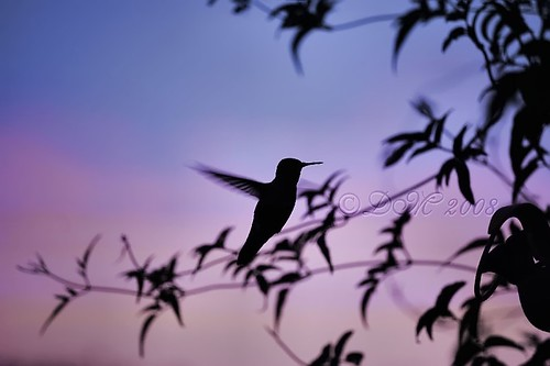 Sunset Humming Bird 〖Explore〗