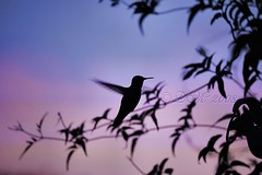 Sunset Humming Bird [Explore] (BluAlien) Tags: life pink blue sunset shadow wild sky bird animal silhouette fauna backyard nikon hummingbird action wildlife d40 chupaflor chuparosa aplusphoto superhearts 55200mmvr natureoutpost dragondaggerphoto