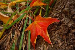Leaf (nathascha) Tags: red fall automne leaf pentax gatineau sigma1020 k100d nathascha justpentax parcdulacbeauchamp