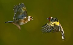 Duelling goldfinches (Sean Reidy Photography) Tags: bravo birdwatcher topshot naturesfinest blueribbonwinner featheryfriday specanimal mywinners abigfave specanimalphotooftheday anawesomeshot avianexcellence specanimalphotoofthemonth theperfectphotographer goldwildlife goldstaraward dragondaggerphoto dragondaggeraward imagicland mothernaturesgreenearth