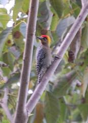 Unidentified woodpecker