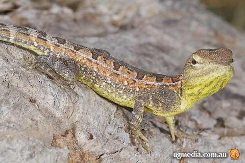 Yellow-sided two-line dragon (Diporiphora magna)