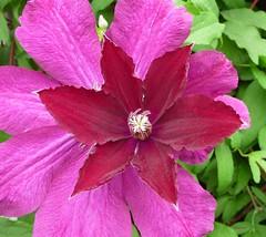 CLMATITE (picolojojo) Tags: flower color nature fleur vert panasonic couleur verdure clmatite grimpante masterphotos anawesomeshot