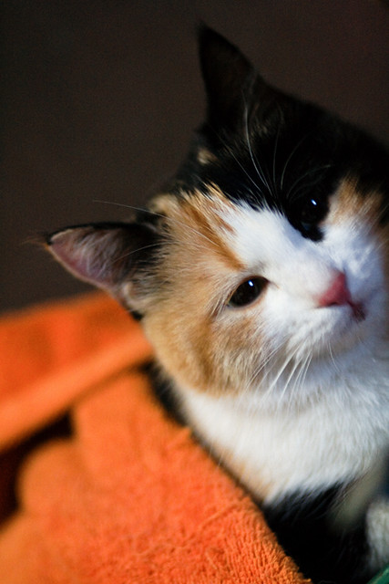 cute calico cat
