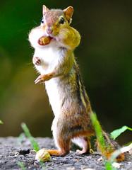 Upright Walking Chipmunk (Brian E Kushner) Tags: animals newjersey backyard nikon squirrel wildlife brian ngc nj 300mm chipmunk f28 audubon kushner nikor backyardanimals specanimal d3x platinumphoto nikond3x audubonnj bkushner brianekushner nikon300mmf28gifedafsvr