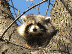 Rocky Raccoon I IMG_1485 SX30 IS crop SOOC (Jennz World) Tags: raccoon procyonlotor superzoom sooc straightoutofcamera sx30is canonpowershotsx30is