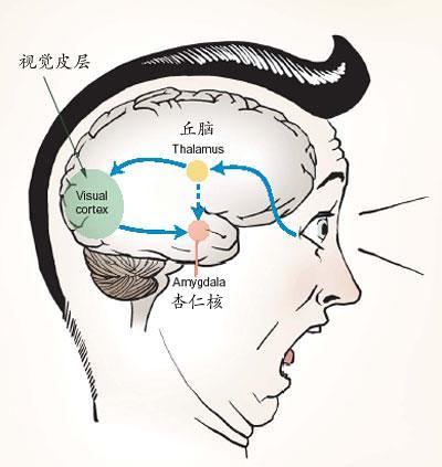 amygdala 2