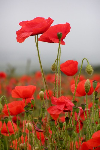 Field Poppies / Auntie P