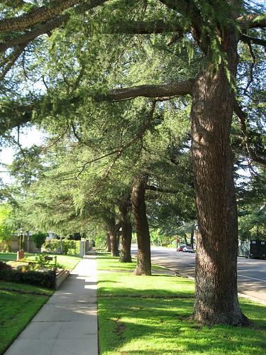 144 Deodar Trees