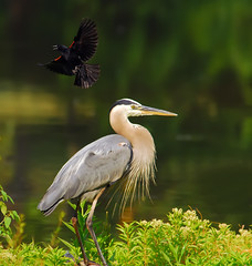 Frozen In Time (ozoni11) Tags: lake bird rivalry heron nature birds animal animals fight nikon attack wetlands d200 blackbird blackbirds greatblueheron herons territory redwingedblackbird naturesfinest greatblueherons featheryfriday interestingness423 i500 animaladdiction ozoni11 superbmasterpiece
