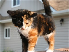 CATWALK (Wenspics) Tags: baby cute colors cat fur kitten kitty whiskers calico catwalk notmykitty