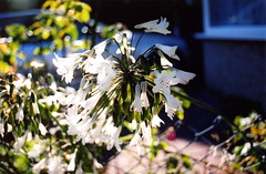 white flowers (shortieb) Tags: flower florafauna