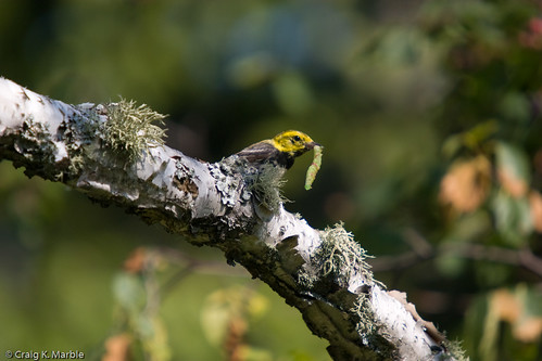 Black-throated Green Warbler Eating