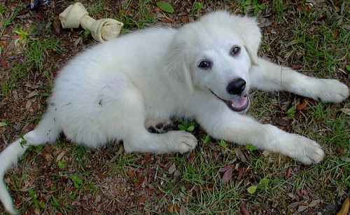 Report this image Great Pyrenees 6 Months Old Weight
