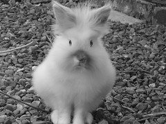 Boon (ilikeleavesido) Tags: cute rabbit bunny sweet boon lionhead