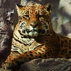 nature animal of jaguar tigers picture