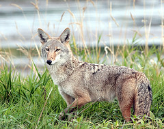 Coyote (2) (Team Hymas) Tags: coyote wildlife refuge ridgefield shirleen experiencewa specanimal