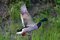 Drake in flight (Mr.OutdoorGuy) Tags: lighting deleteme5 deleteme8 deleteme deleteme2 deleteme3 deleteme4 deleteme6 bird deleteme9 deleteme7 nature duck inflight wings saveme dof deleteme10 birding flight du mallard fowl drake waterfowl deleteme11 ornithology ducksunlimited brokeh drakemallard mroutdoorguy