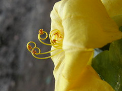 Showing off the curls........... (rufaro) Tags: flower nature yellow stamens pollen mirabilisjalapa supershot fantasticflower colorphotoaward ultimateshot excellentphotographerawards