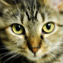 """Those Eyes (Light Echoes) Tags: pet nature cat photoshop lucy spring kat feline chat bigcat gato katze 1001nights 猫 cateyes gatto kot catseye 貓 2010 catseyes moggy cateye potofgold 고양이 naturesfinest dmk γάτα greatphotographers thegalaxy animaladdiction bestofcats thebestshot crazyheart spiritofphotography 100commentgroup """"flickraward"""" expressyourselfaward today´sbest lifetnc10 vg~catsgallery ringexcellence"""