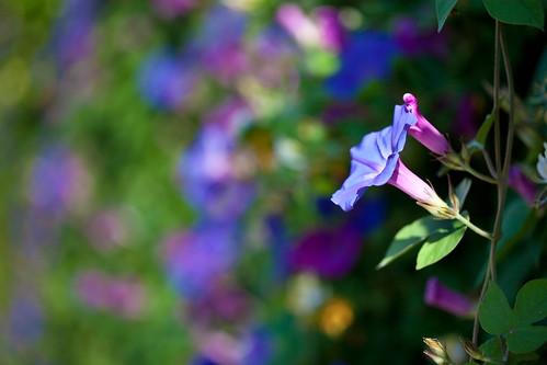 フリー写真素材, 花・植物, ヒルガオ科, アサガオ, 青色の花,