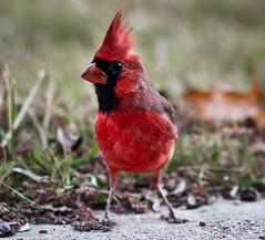 Cardinal Portrait (mjkjr) Tags: atlanta red fall birds ga bokeh availablelight atl wildlife birding birdfeeder dslr newnan 2010 selectivefocus 135l cowetacounty potn october21 550d newnanga t2i ef135mmf2lusm clubsi mjkjr httpwwwflickrcomphotosmjkjr october212010 135lcardinal