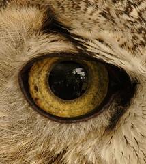 On Display (gainesp2003) Tags: macro bird eye owl captive