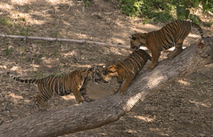 Sumatran tiger cubs make their debut (kjdrill) Tags: park wild cats animal rojo sandiego tiger tigers cubs sari sumatran endangeredspecies kemala