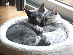 Brotherly Love (Endless Whimsy) Tags: blue love cat hug egyptian stoli russian luxor mau bestofcats boc0807 sleeppet endlesswhimsy ggglove