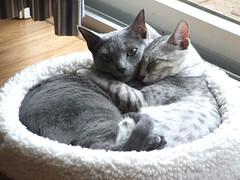 Brotherly Love (Endless Whimsy) Tags: blue love cat hug egyptian stoli russian luxor mau bestofcats boc0807 sleeppet endlesswhimsy ggglove