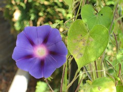 morningglories 003