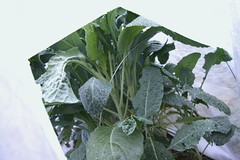 covered kale