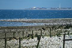 Llanddulas (harry.1967) Tags: uk britain gulls gb rhyl andrewlee sooc canon400d focusman5 harry1967