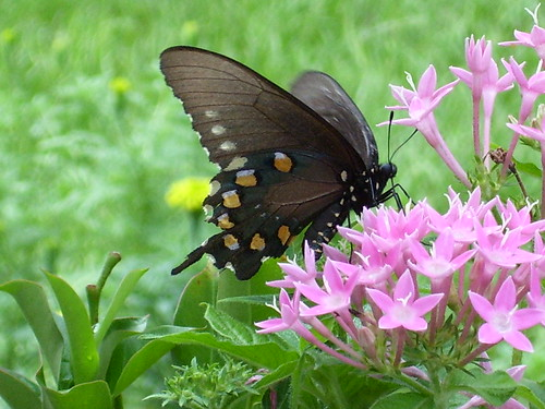 Butterfly and Pink Pentas, Spring Hill, FL - sep2307 027