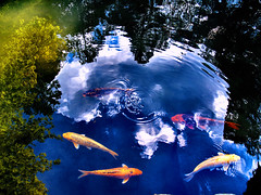 ripple (M. TANIGUCHI) Tags: blue sky cloud fish black green water leaves yellow japan temple pond kyoto ripple koi carp masa refrection  taniguchi   blueribbonwinner   feaf