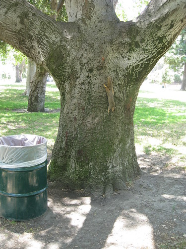 coast live oak tree trunk with squirrel