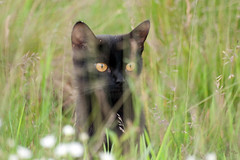From an evening walk (atranswe) Tags: nature cat blackcat sweden natur sverige katt halland falkenberg rves lenssigma70300 svartkatt terrascania svenskafotografer atranswe dsc1777 svenskaamatrfotografer afemalenordiceye 56530n1230e siamesecatsandtheirfelinebrothers nikond5000 20100614