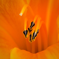 Bltenstaub (Spidi1981) Tags: orange flower macro nature yellow closeup fauna flora nikon natur bio bee gelb honey pollen blume blte wespen sdtirol fliege biene stempel schnheit d800 umwelt fliegen bienen d4 wespe honig schn bltenblatt bltenstaub befruchtung bestuben