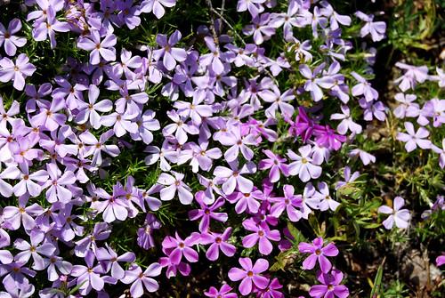 20 - Little Purple Flowers