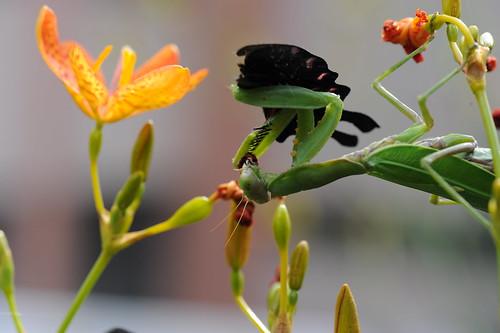 螳螂捕蝶 026