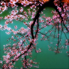 A branch of cherry blossoms hanging over the water.... Himeji Castle, Japan (Hopeisland) Tags: pink flowers trees plant tree nature japan spring blossoms april sakura cherryblossoms colourful soe himejicastle       4 theworldwelivein  magicofnature     flickraward  platinumpeaceaward doublyniceshot doubleniceshot mygearandmepremium mygearandmebronze mygearandmesilver mygearandmegold mygearandmeplatinum ringexcellence bestmagicofnature elitemagicofnature musictomyeyeslevel1