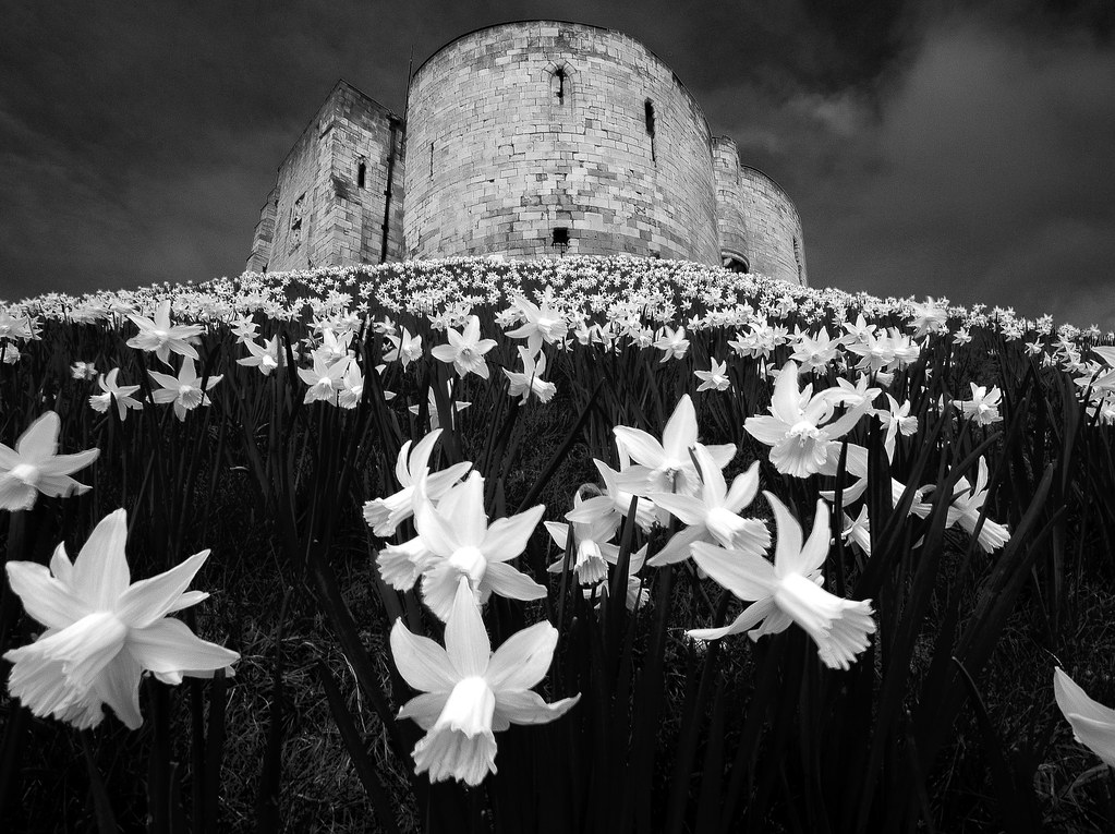 Cliffords Tower daffodil carpet