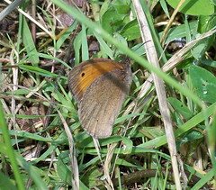 Small Heath in Stave Hill Ecology Park