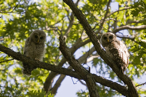 Barred Owl - Owlets