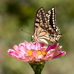 The Queen of Zinnias (macropoulos) Tags: flower yellow butterfly bravo 500v20f 500v50f zinnia 1000v100f topf100 animalia arthropoda swallowtail papilio insecta naturesfinest 500x500 papilionidae hexapoda machaon 1500v60f 1000v40f canonef100mmf28macrousm mywinners abigfave canoneos400d impressedbeauty superaplus aplusphoto vivitar2xteleconverter 100faves100comments1000views top20butterflies macrophotosnolimits macrofoted macrofotedcontest lepiroptera