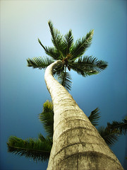 Ze Palm Tree . (*Ben*) Tags: tree beach palm punta cana plage palmier