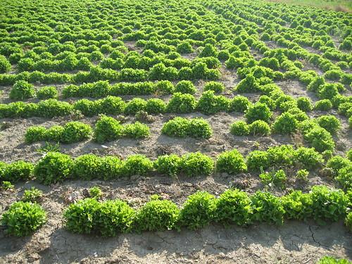 Ortaggio - Differenza tra verdure e ortaggi